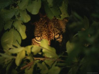 Six-Month Old Lion Cub Peers Through Foliage