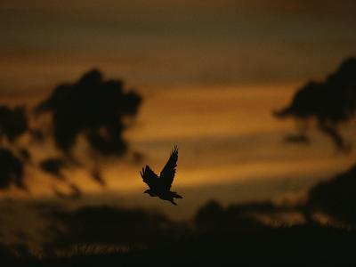 Silhouette of a Red-Tailed Hawk in Flight at Sunset