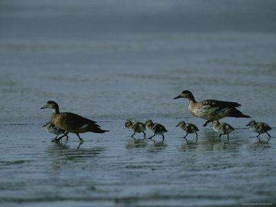 Family of Ducks on a Mud Flat on the Edge of a Saline Lake