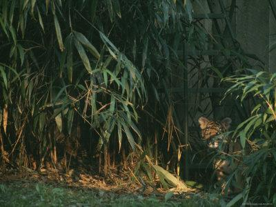 Tiger Cub Looks Shyly Out from Behind a Screen of Bamboo