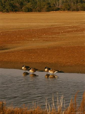 Canada Geese Resting in the Shallows of a Freshwater Marsh