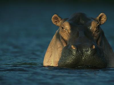Adult Hippopotamus Standing in Water