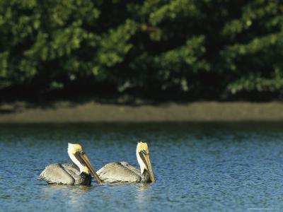 Pair of Brown Pelicans on Floridas Gulf Coast