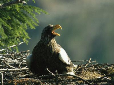 Nesting Stellers Sea Eagle Warns Off an Eagle Flying Too Close
