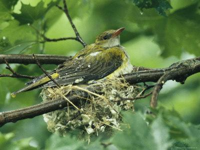 Female Golden Oriole Sitting in her Nest in a Tree Top