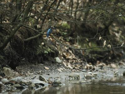 River Kingfisher Sitting on a Tree Branch over a Stream