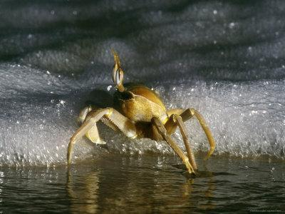 Ghost Crab Scuttling near Foamy Surf