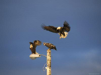 Trio of American Bald Eagles Land on a Streetlamp