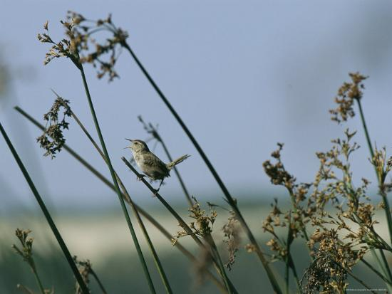 Marsh Wren Perched on a Tall Grass' Photographic Print - Marc Moritsch |  AllPosters.com