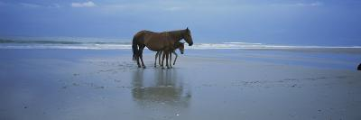 Wild Mare and Foal on the Beach North of Corolla