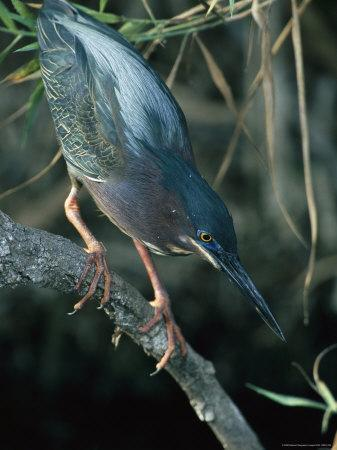 Green-Backed Heron Perches on a Tree Branch