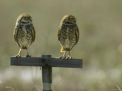 Pair of Burrowing Owls Perch on a Post