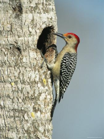 Red-Bellied Woodpecker Looks into its Nest