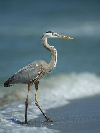 Great Blue Heron Walks in the Sand