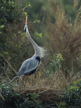 Great Blue Heron Exhibits Greeting Behavior