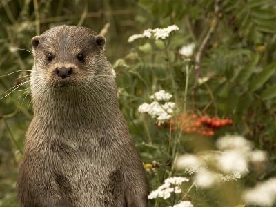Adult, Male European Otter Stands Upright