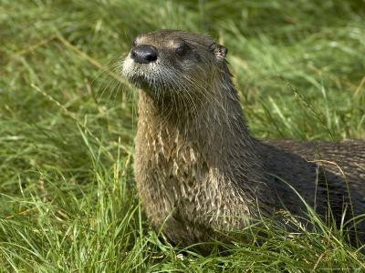 Adult, Male North American River Otter