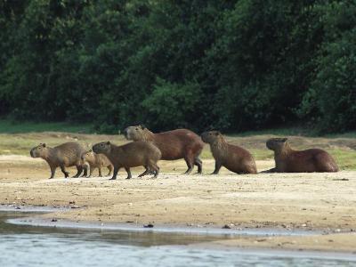 Capybaras Walk on the Shoreline of the Rio Negro