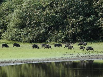 White-Lipped Peccaries on the Shoreline of the Rio Negro