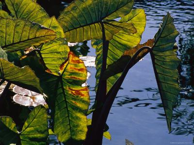 Sunlight Filters Through the Broad Leaves of Aquatic Plants