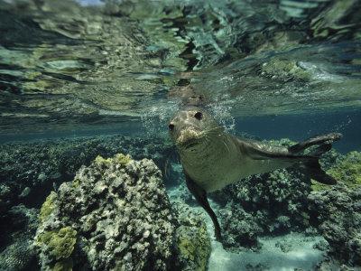 Hawaiian Monk Seal in a Coral Sea Reef, French Frigate Shoals, Hawaiian Islands