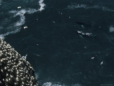 Humpback Whales Swim Near Cliffs Where Northern Gannets Roost