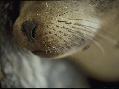 The Nose and Whiskers of a Sleeping Galapagos Sea Lion