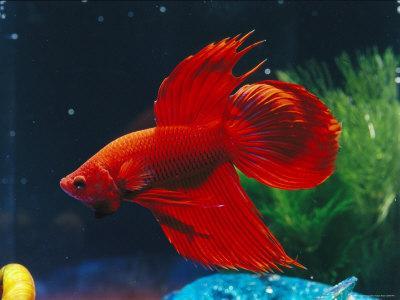 A Red Siamese Fighting Fish in an Aquarium