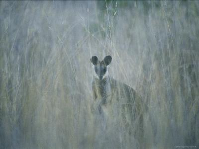 A Swamp Wallaby in Tall Grass