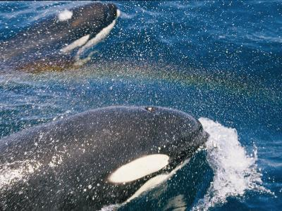 A Pair of Killer Whales Swimming Near the Continental Shelf