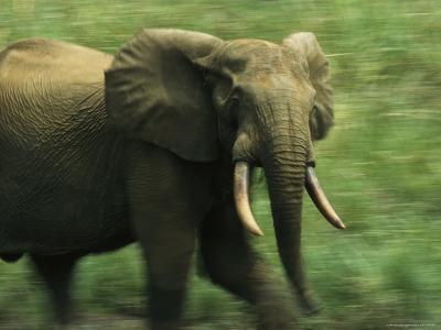 Adult Male Forest Elephant on the Move