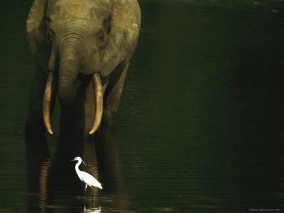 African Forest Elephant and Egret in the Calm Waters of Langoue Bai