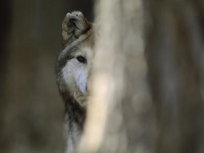 A Captive Mexican Gray Wolf Peers from Behind a Tree Trunk