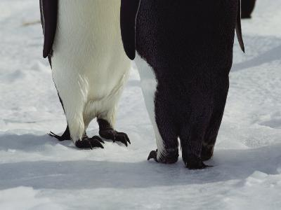 View of the Legs and Feet of a Pair of Emperor Penguins