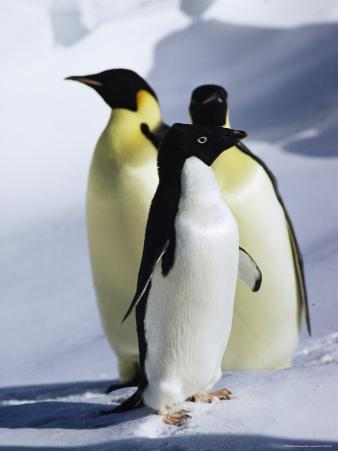 A Pair of Emperor Penguins and a Single Adelie Penguin