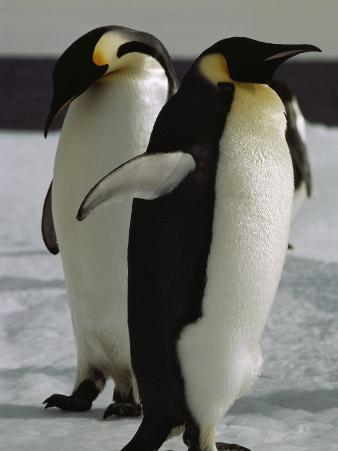 A Pair of Emperor Penguins on the Icy Mcmurdo Sound Shore