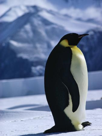 Portrait of an Emperor Penguin in Its Icy Environment