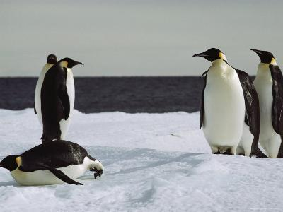 A Group of Emperor Penguins on the Shore of Mcmurdo Sound