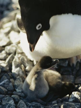 An Adelie Penguin Looks Down at Its Chick in Its Nest. Adelie Penguin, Pygoscelis Adeliae