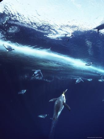 Emperor Penguins Swim Underwater in Search of Squid