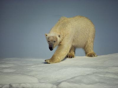 A Polar Bear Walks on an Ice Formation on the Chukchi Sea