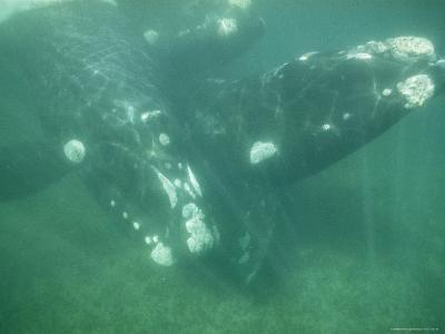 Underwater Shot of a Southern Right Whale and Her Baby