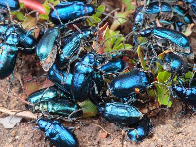 Mexican Blue Beetles in a Feeding Frenzy