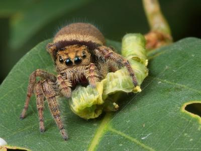A Jumping Spider, Phidippus Species, Feeding on a Caterpillar