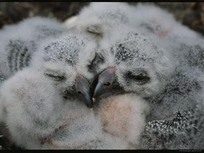 Fluffy Baby Owls Nestled Together in Their Nest