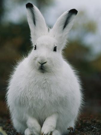 Portrait of a Snowshoe Hare in Its Winter Coat