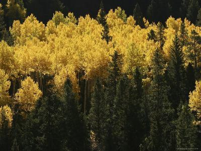 A Stand of Autumn Colored Aspen Trees Intermingled with Evergreens
