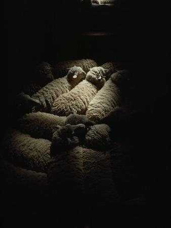 Sheep Await Shearing at Bidgemia Station in the Gascoyne Region Near the Coast of Western Australia