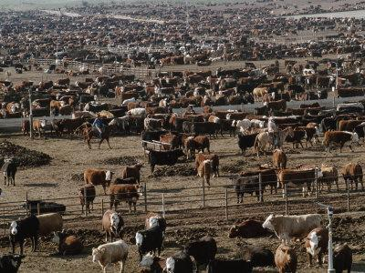 About 85,000 Cattle on 640 Acres of Land in Coalinga, 50 Miles Southwest of Fresno, California