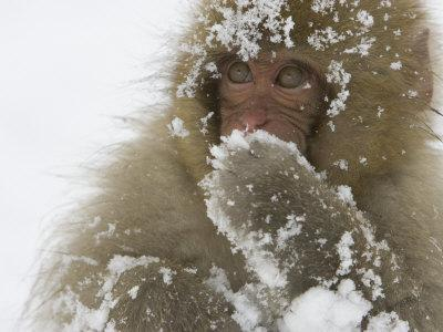 Big-Eyed, Snow-Covered Baby Snow Monkey (Macaca Fuscata)